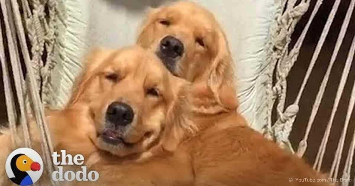 5 things every golden retriever lover knows