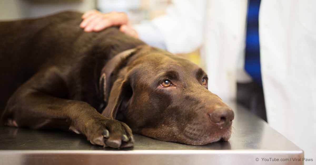 Dogs Who Overdose Need More Than Reversal Medication