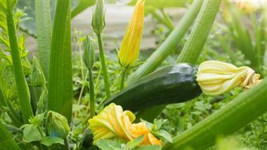 A Guide to Growing Zucchini