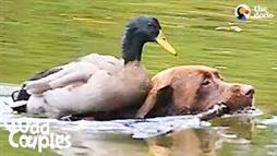 Duck Rides Dog's Back to Go Swimming