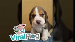 Baby Beagle's 'Ferocious' Bark Makes You Smile!