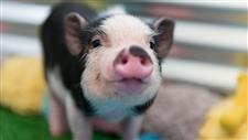 pigs as house pets