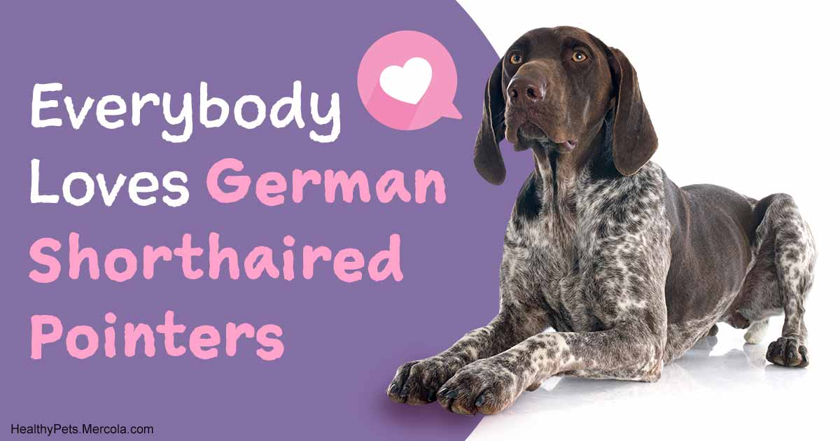 German Shorthaired Pointer Finally Made the Top 10 Dog Breeds