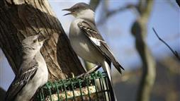 Lead Exposure Makes Mockingbirds Aggressive
