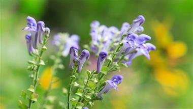New Study Shows Skullcap Herb Repairs Brain Injury