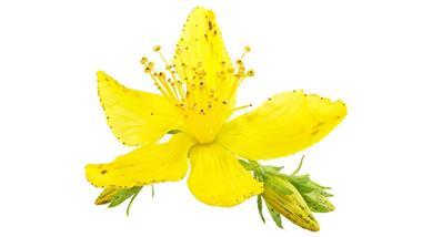 St. John's Wort: A Potential Answer to Life's Worries