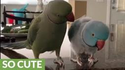 Pair of Pretty Parakeets Share a Special Language