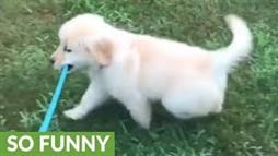 Puppy on a Leash Takes Herself on a Walk