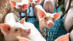 antibiotic resistance in pigs