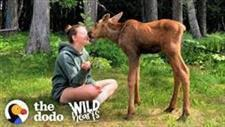 Family Cares for Orphaned Twin Moose Babies