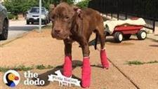 Stray Pit Bull Finds His Feet and a Home