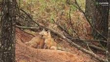 Fox Kits Caught Frolicking in the Woods