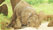 Baby Elephants: Adorably Awkward