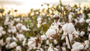 biodynamic cotton crops
