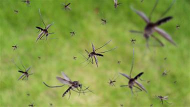 genetically engineered mosquitoes
