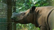 Smallest Rhino Near Extinction