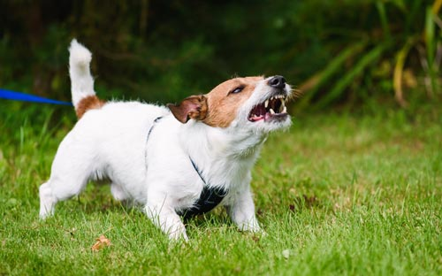 How a dog looks when aggressive
