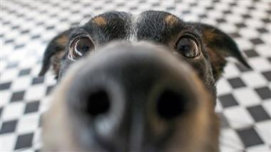 dog nose can detect heat