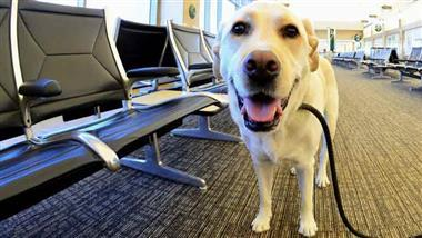 airport therapy dog