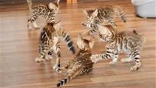 Bengal Kittens Practice the Art of War