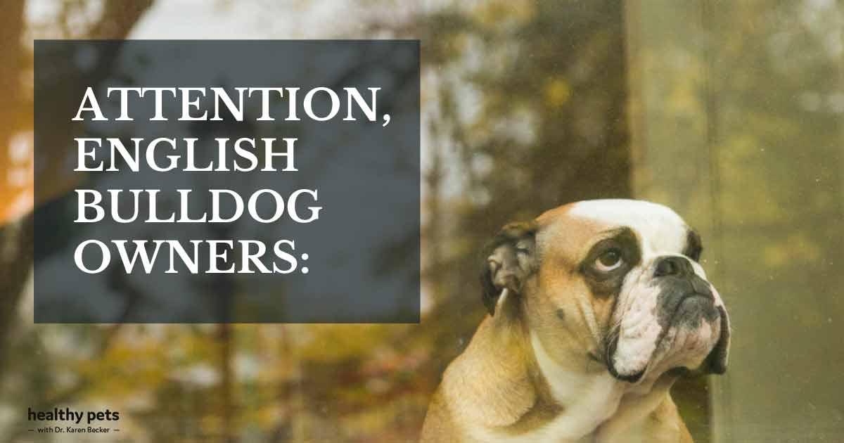 Finally, Positive Health News About English Bulldogs