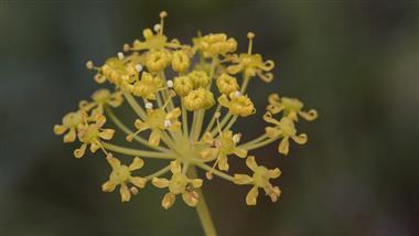 thapsia villosa plant