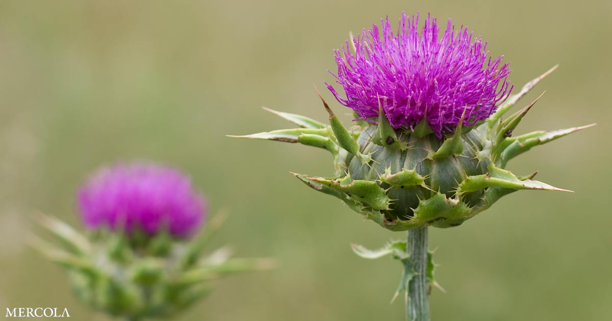 Milk Thistle Promotes Liver Function