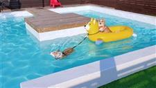Corgis Having a Blast in Their Pool!