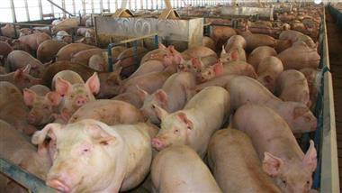 iowa hog farm pollution