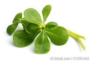 purslane plant