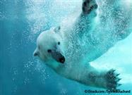 "How Long Can a Polar Bear Stay Under Water? New ""Epic"" Dive Recorded"