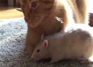 What Happens When You Put Your Pet Cat Together With Your Pet Rat?