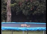 Fox on a Trampoline