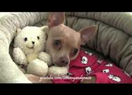 Adorable Chihuahua and His Favorite Teddy Bear