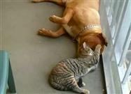 Pitbull and Kitten in Love