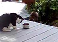Raccoon Steals Kitty's Food