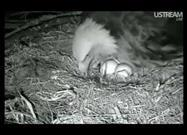 24-Hour Collage of Eagle Egg Hatching