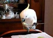 Cockatoo Eats With Cutlery