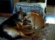 German Shepherd and his Best Friend, Kitty