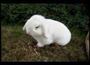 Mini Lop Burrowing