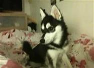 Alaskan Klee Kai Talks to the Full Moon