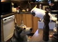 Smart Bird Feeds Malamute