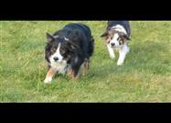 Collie Stalkers