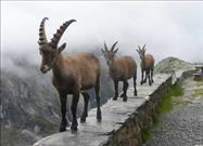 What is an Ibex?