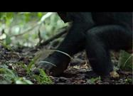 "Chimps Use ""Power Tools"""