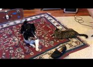 Tabby vs. Sheltie