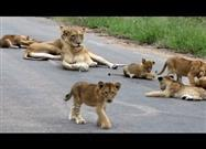 Lion Pride Relaxes in Roadway
