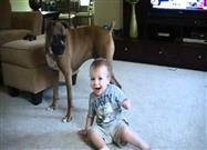 Boxer and Baby Play Kissy Face