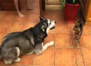 Cat Rebuffs Husky's 'Friend' Invite