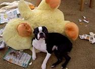 Busted: Boston Terrier Has Some Explaining to Do